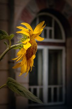 A flower in the window  by Rucsandra Calin,