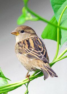 House Sparrow by Linda Konz