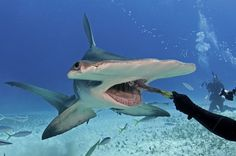 Diver Eli Martinez aims to change negative views about sharks by interacting with them in waters off Bahamas, where hammerhead sharks enjoy protection