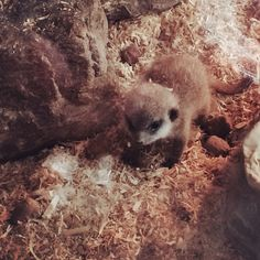 Day 77 - who can resist a baby meerkat, adorable! #100DaysOfHappiness