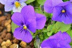 【ビオラ】 和名:パンジー/ビオラ 英名:Pansy/Viola 品種名:ひとつぶの涙 ビオラ プラス(ビオラとパンジーが融合した新しい品種)です。   Violaはスミレ科スミレ属のラテン語名で、花径5cm以上をパンジー、4cm以下をビオラと分類することが多いのですが、現在では見た目が豪華なのがパンジー、可愛らしいのがビオラとする、かなり主観的な別け方になっています。  スミレ目 Violales スミレ科 Violaceae スミレ属 Viola パンジー種V. X wittrockiana 学名Viola X wittrockiana