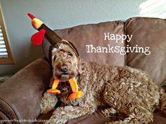 #Goldendoodle #Thanksgiving