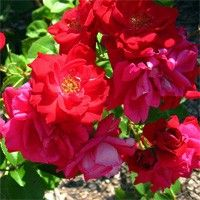 Winnipeg Parks Canadian Hardy, sold by High Country Roses  zone3 2-1/2'high deep pink fragrant semi bloom dark green disease resistant foliage