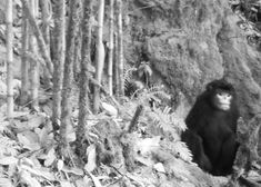 first ever photos of rare Myanmar snub-nosed monkey.  They sneeze when it rains!