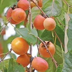 American Persimmon Tree for Sale