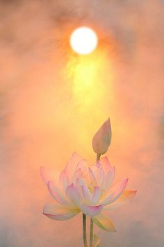 The Lotus Flower . By Bahman Farzad Good Vibes. Lotus Flower Pictures, Lotus Flower Art, Lotus Art, Lotus Painting, Buddha Painting, Flowers Nature, Flower Wallpaper, Amazing Flowers, Fantasy Art