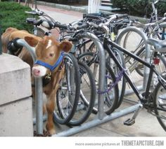 Funny pictures about Parking My Cow. Oh, and cool pics about Parking My Cow. Also, Parking My Cow photos. Funny Cow Pictures, Random Pictures, Funny Photos, Funny Animals, Cute Animals, Funny Cows, Farm Animals, Show Cattle, Just For Laughs