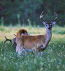 Deer in Food Plot - Wildlifeseeds.com an info site by Seedland.com
