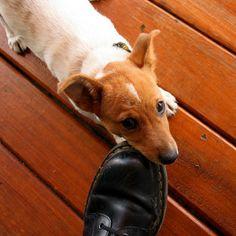 Correcting Puppy Biting Behavior Big Dog Little Dog, Big Dogs, Cute Dogs, Alpha Dog, Puppy Biting, Dog Information, Four Legged, Animal Kingdom, Dog Training