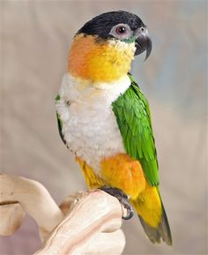 Black-Headed Parrot - Found north of the Amazon River and West of the Ucayali River in Brazil/ Columbia/ Ecuador/ French Guiana/ Guyana/ Peru/ Suriname/ Venezuela