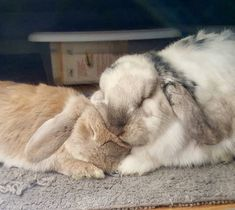 Super Cute Animals, Cute Baby Animals, Animals And Pets, Cute Baby Bunnies, Funny Bunnies, Bunny Bunny, Fluffy Cows, Fluffy Bunny, Rabbit Pictures