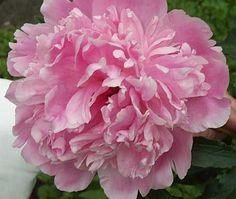 PAEONIA lactiflora 'Sarah Bernhardt' - Silkepæon (MS)