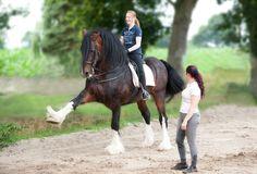 So gymnastizierst Du schwere Pferde wie das Shire Horse!
