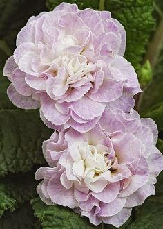 Primula Belarina Pink Ice Greeting Card for Sale by Geoff Kidd