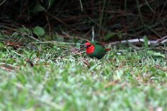 Red-throated Parrotfinch (Erythrura psittacea) Adult bird in the grass New Caledonia