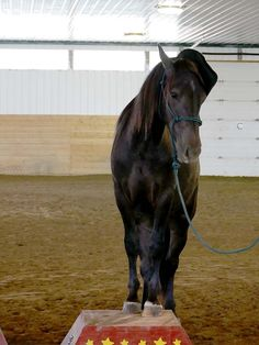 Cesar - show horse Canadian Horse, Black Canadians, Horses For Sale, Ranch, Animals, Guest Ranch, Animales, Animaux, Animal