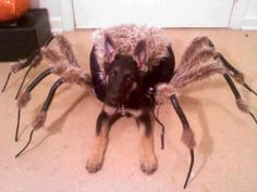 Dog dressed as a spider for Halloween...creepy!