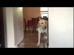 This Poor Labrador Is Terrified Of Carpets. But How He Crosses Them Is Absolutely Hysterical.