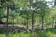Alnwick Garden | Cherry Orchard - The Cherry Orchard is a must-see in late spring, as it becomes a cloud of white blossom carpeted by the 50,000 Purple Sensation Alliums.