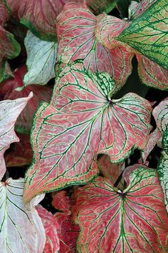 Plant Palette: Caladiums | Garden Design Caladium 'Thai Beauty':  Distinguished by smaller, thicker textured, almost waxy foliage. Has stunning pink, almost-translucent leaves with markings of green & vanilla. Reaches 8 to 15 inches tall. Other Thai caladiums are just coming on the market in startling colors, with playful names like 'Hot Wasabi', 'Thai Iced Tea' and 'Wok This Way'. brentandbeckysbulbs.com, hineshort.com,hortcoutureplants.com, asiaticanursery.com