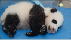 They gave this cute little panda a name... I woulda called him Sprinkles... but noooo... they called him Bao Bao.