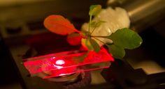 Bioniczne rośliny MIT mogą służyć jako źródło energii lub czujniki