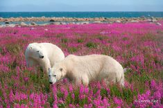 Wildlife and nature photographer Dennis Fast captured rare images of polar bears playing in flower fields during the summer. See his incredible shots here! Pictures Of Polar Bears, Bear Pictures, Animals And Pets, Cute Animals, Champs, Belle Photo, Spirit Animal, Beautiful Creatures, Animal Kingdom