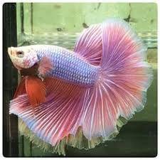 peixes ornamentais betta reprodução ile ilgili görsel sonucu