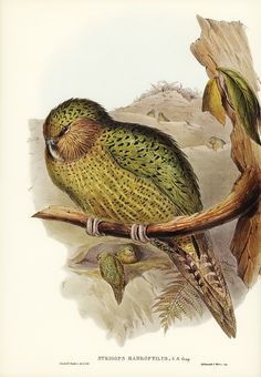 Free Public Domain | www.rawpixel.com | Kakapo (Strigops habroptius) illustrated by Elizabeth Gould (1804–1841) for John Gould's (1804-1881) Birds of Australia (1972 Edition, 8 volumes). Digitally enhanced from our own facsimile book (1972 Edition, 8 volumes).