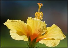 Yellow Hibiscus, great angle