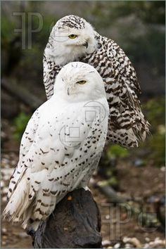 белые совы / OWLs ~ nature's super stealth navigators of the dark woods' tangled worlds! intelligent, glorious creatures of dreams & imaginations! Beautiful Owl, Animals Beautiful, Cute Animals, Animals Amazing, Pretty Animals, Beautiful Couple, Baby Animals, Owl Photos, Owl Pictures