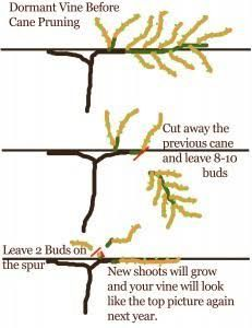 how to cut grape vines