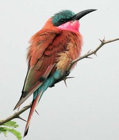 Adult Carmine Bee-Eater (Merops numicoides) with feathers fluffed to retain warmth