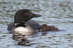 Have you heard the loon's call yet? These distinctive, beautiful birds return to New England's lakes as soon as the ice thaws – a sign that spring is just around the corner.