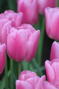 Triumph Tulip 'Pink Twist' | Flickr - Photo Sharing!
