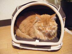 sleeping cat in daisuki bag