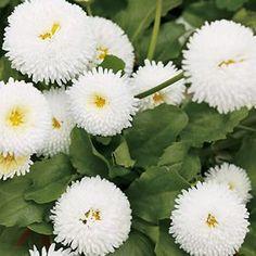 Bellis perennis 'Polar White' -- English Daisy