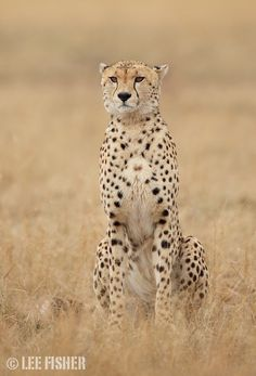 Cheetah portrait by Lee Fisher.