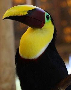 Toucan via Paradise of Birds on Facebook