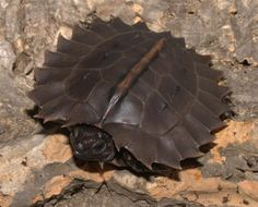 Spiny turtle - heosemys spinosa