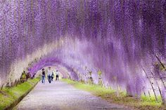 Wisteria Flower Tunnel - Japan plus 20 other super awesome places to travel arou. Wisteria Flower Tunnel - Japan plus 20 other super awesome places to travel around the world. Places Around The World, Travel Around The World, Dark Hedges, Wisteria Sinensis, Places To Travel, Places To See, Travel Destinations, Wonderful Places, Beautiful Places