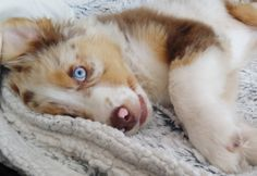 Australian Shepherd Puppy red merle