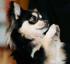 Chihuahua praying (in a Buddhist monastery)