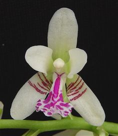 Orchid: Flower-detail of Sedirea japonica