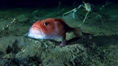 Sea-toad