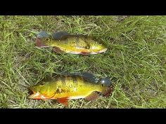 2016 Peacock Bass Fishing