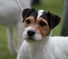 Parsons Russel Terrier. Great photographer. Highly recommend. brucerose2blog.wordpress.com