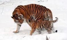 23 Kitties Ideas Wild Cats Animals Wild Big Cats