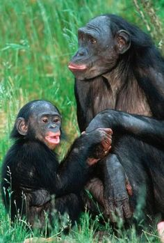 Bonobo momma and child