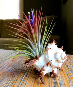 Guaranteed Blooming Ionantha Air Plant By AirPlantDesignCenter